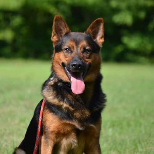 Dogs - Nashville K-9